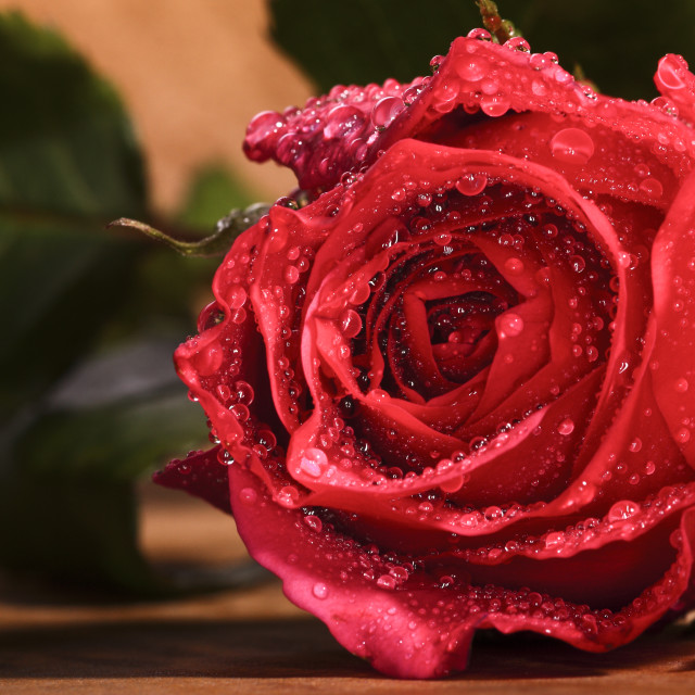 """Red rose on gold"" stock image"