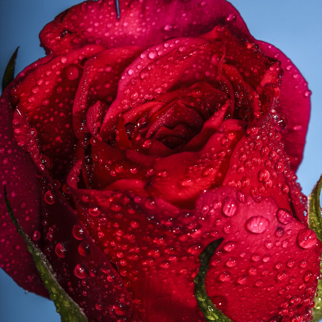 """Red rose on blue"" stock image"