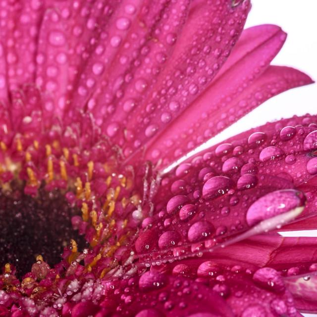 """Gerbera flower on white"" stock image"