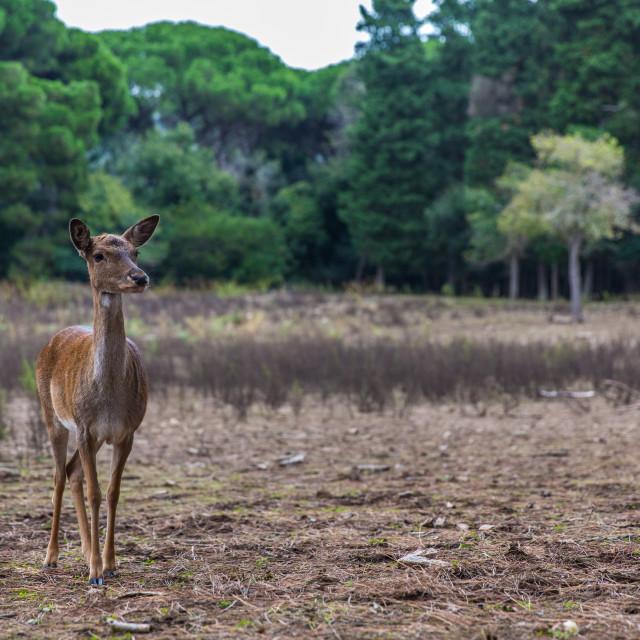"""""""Deer in the woods"""" stock image"""