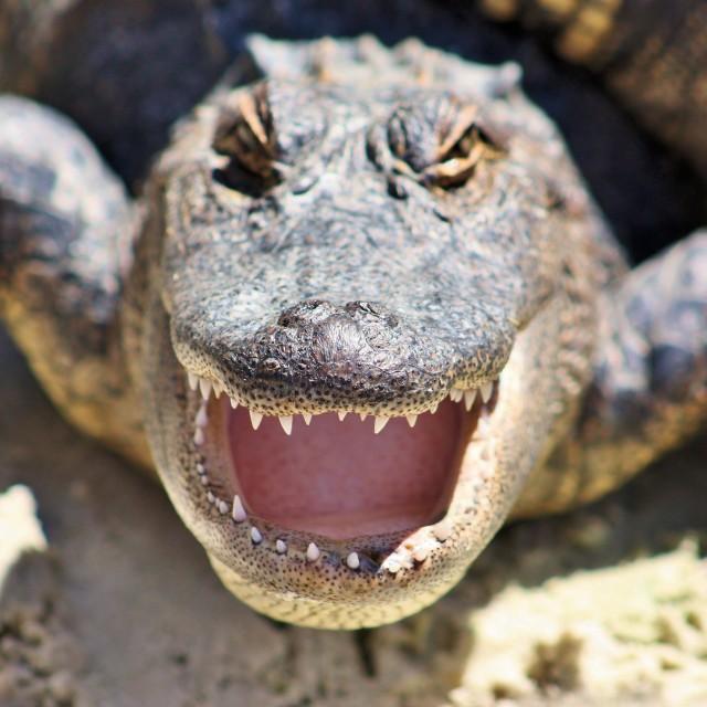 """Alligators"" stock image"