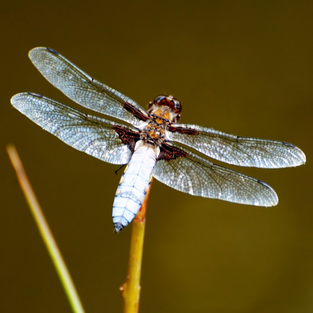 """""""Broad Bodied Chaser Dragonfly"""" stock image"""