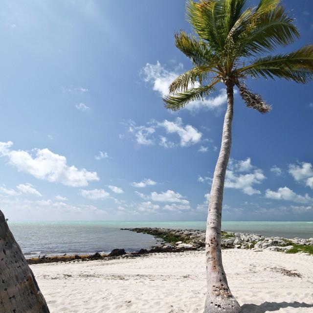 """Key West Palm Tree"" stock image"