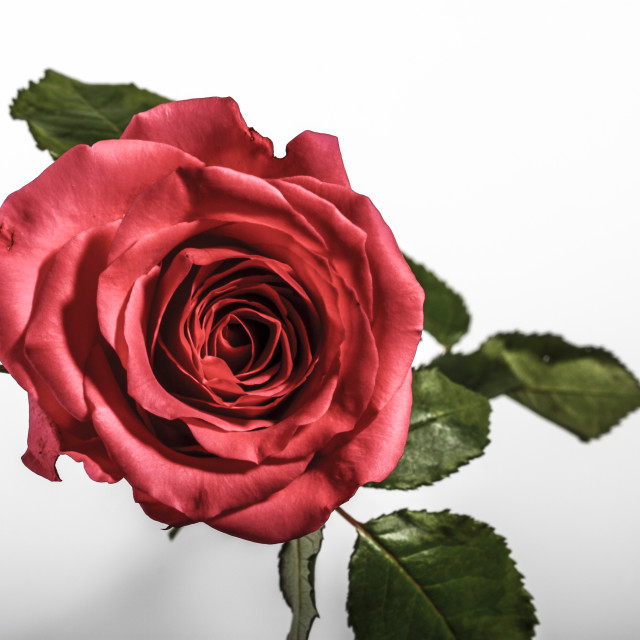 """Red rose on white"" stock image"