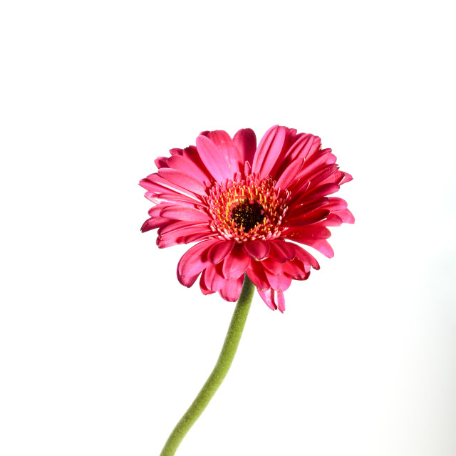 """Gerbera flower on white"" stock image"