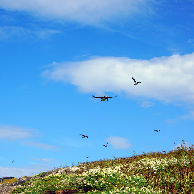 """""""Flying puffins"""" stock image"""