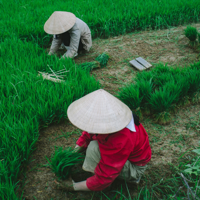 """Sowing rice seeds"" stock image"