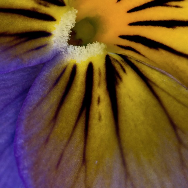 """Yellow and Purple Viola"" stock image"