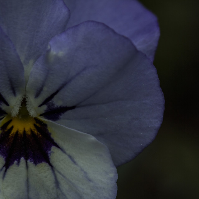 """Purple and White Viola"" stock image"