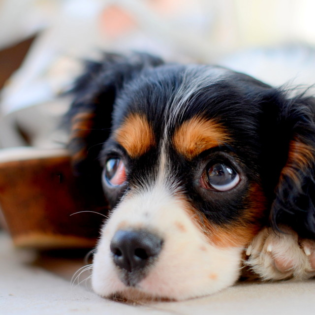"""little puppy of cavalier king"" stock image"