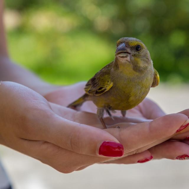 """Little Sparrow on Women hands"" stock image"
