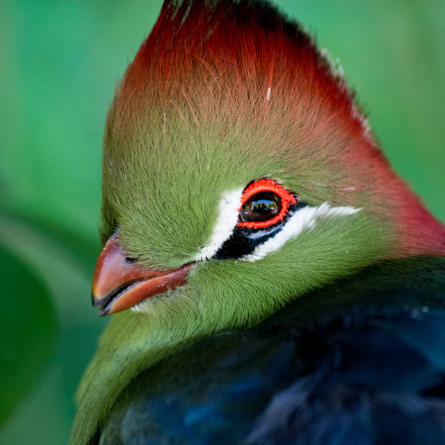 """Red-crested Turaco"" stock image"
