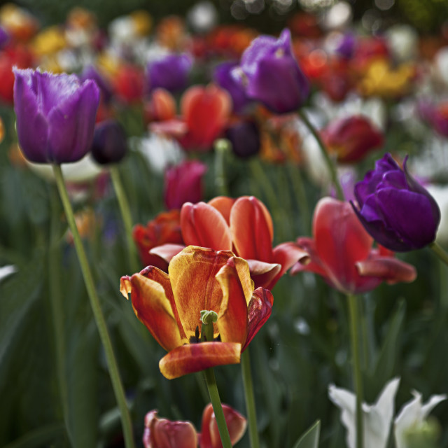 """""""Colorful tulips"""" stock image"""