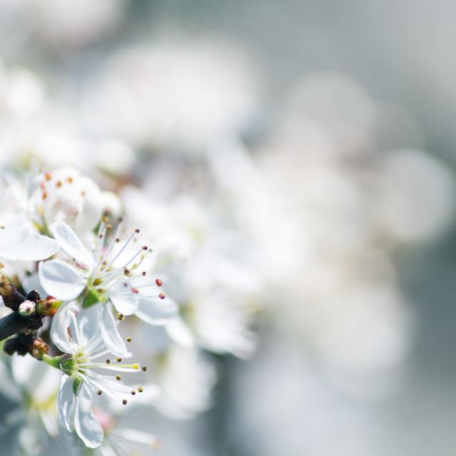 """""""Delicate white blossom"""" stock image"""