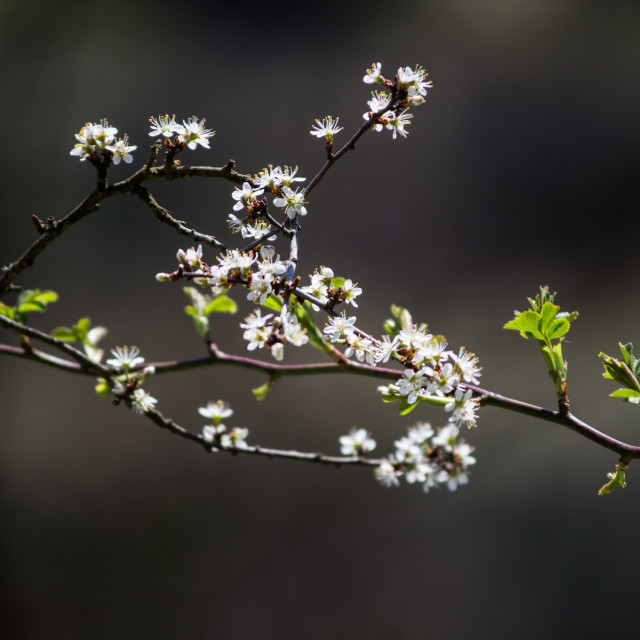 """""""Spring branch of blackthorn"""" stock image"""