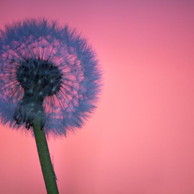 """Dundelion in sunset"" stock image"
