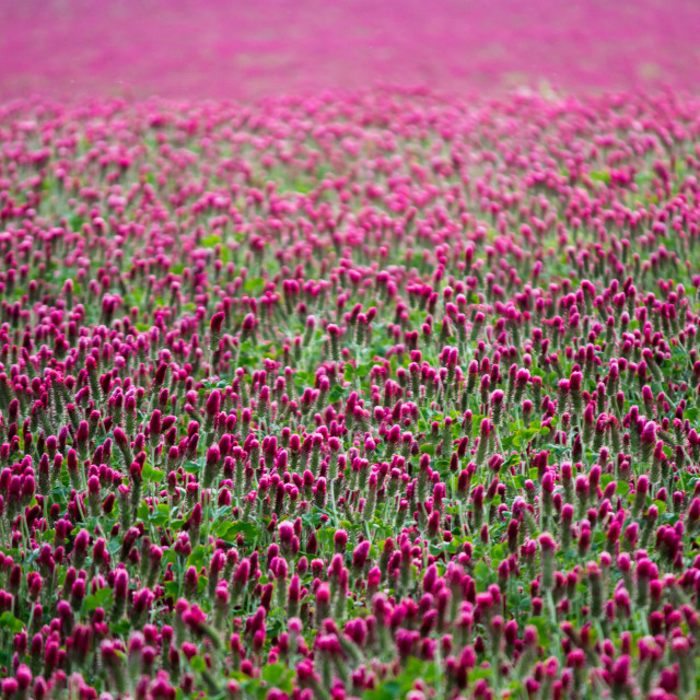 """""""Pink clover field in bloom"""" stock image"""