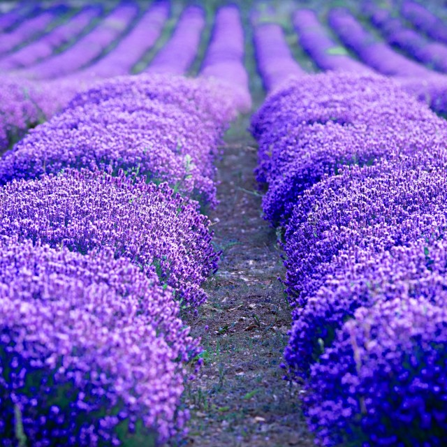 """Lavender at Sunset"" stock image"