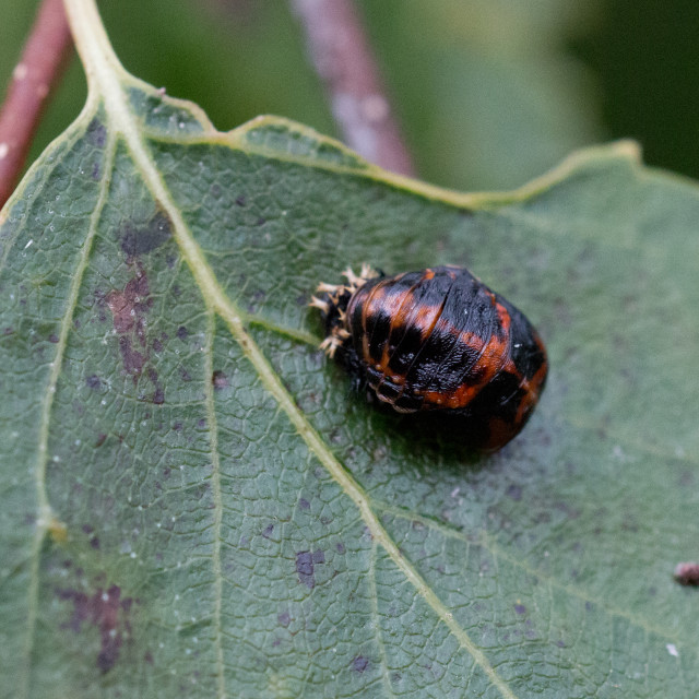 """Ladybird pupation 6"" stock image"