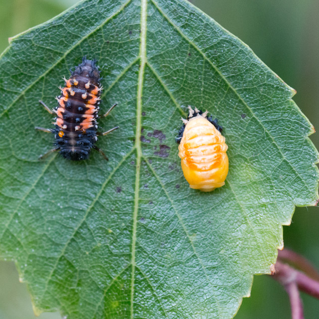 """Ladybird pupation 4"" stock image"