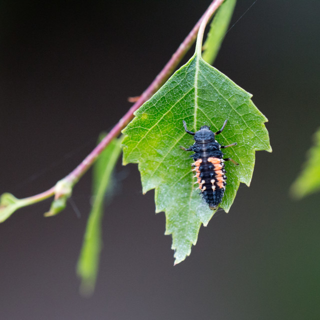 """Ladybird pupation 1"" stock image"