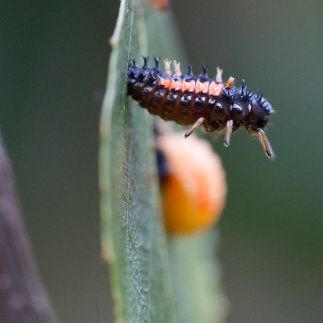 """Ladybird pupation 5"" stock image"