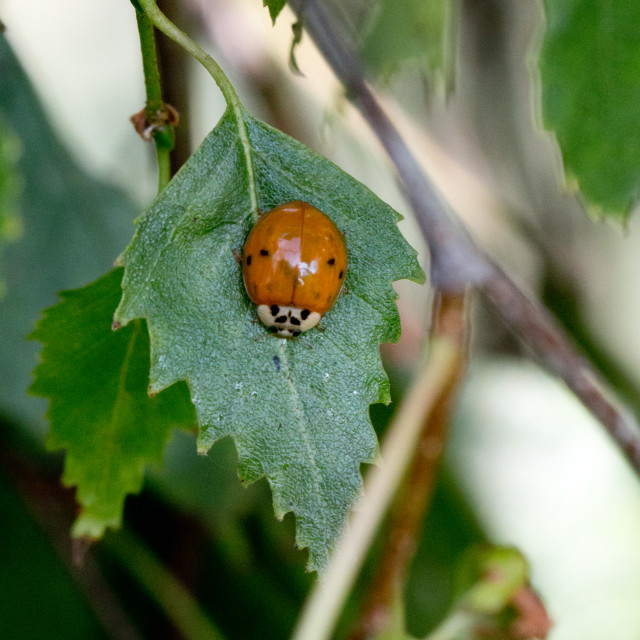 """Ladybird pupation 8"" stock image"