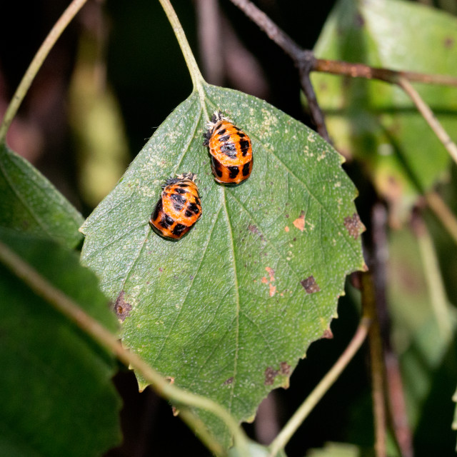 """Ladybird pupation 7"" stock image"