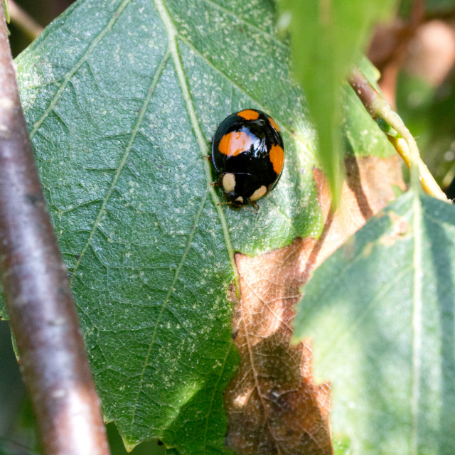 """Ladybird pupation 9"" stock image"