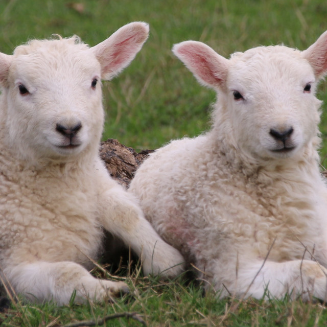 """Two lambs in a field"" stock image"