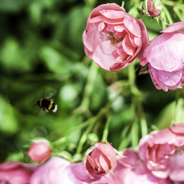 """""""Busy Busy Bee"""" stock image"""