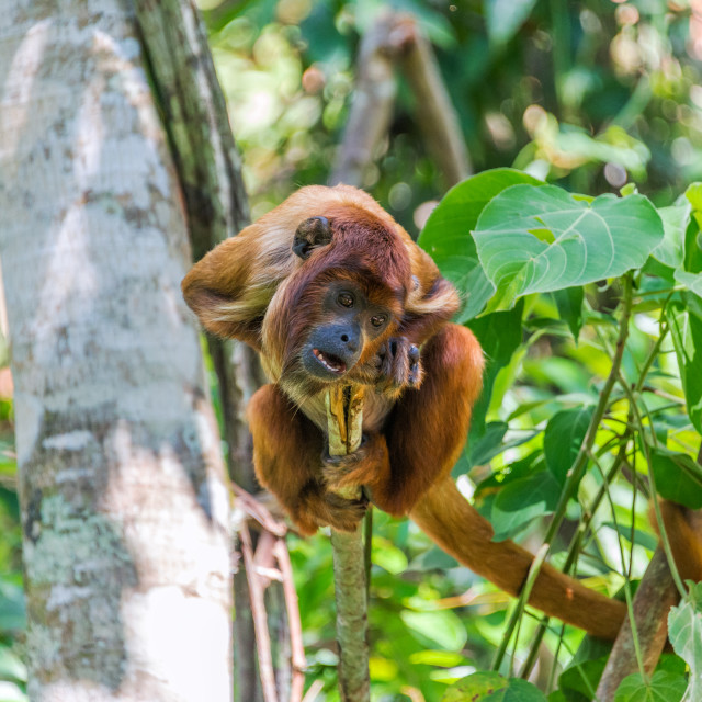 """""""Young Red Howler Monkey"""" stock image"""