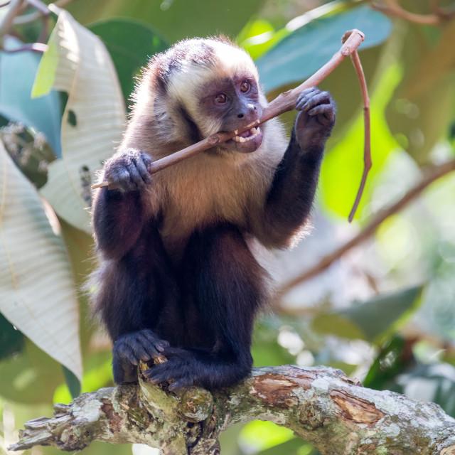 """Capuchin Monkey Chewing on a Stick"" stock image"
