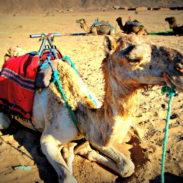 """Moroccan Camel"" stock image"