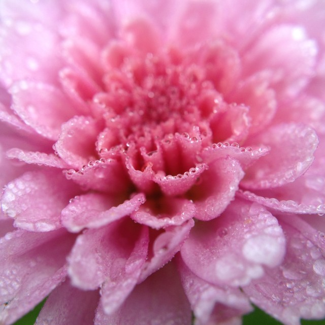 """Raindrops on a chrysanthemum"" stock image"