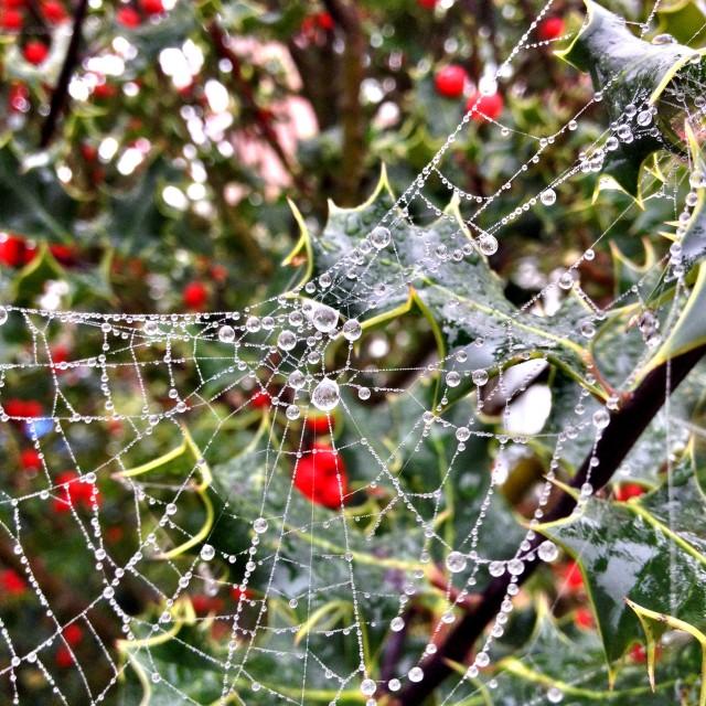 """""""Cobweb on holly"""" stock image"""