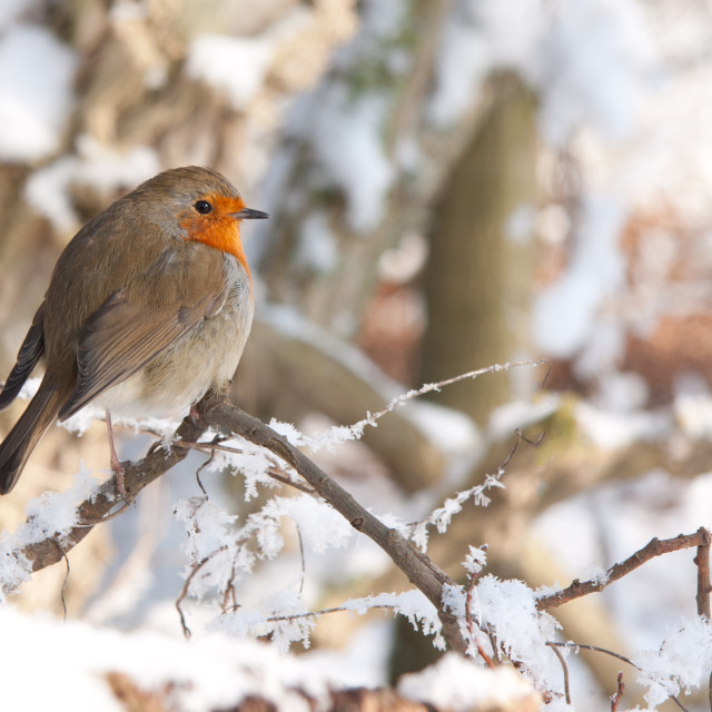 """Robin Redbreast"" stock image"