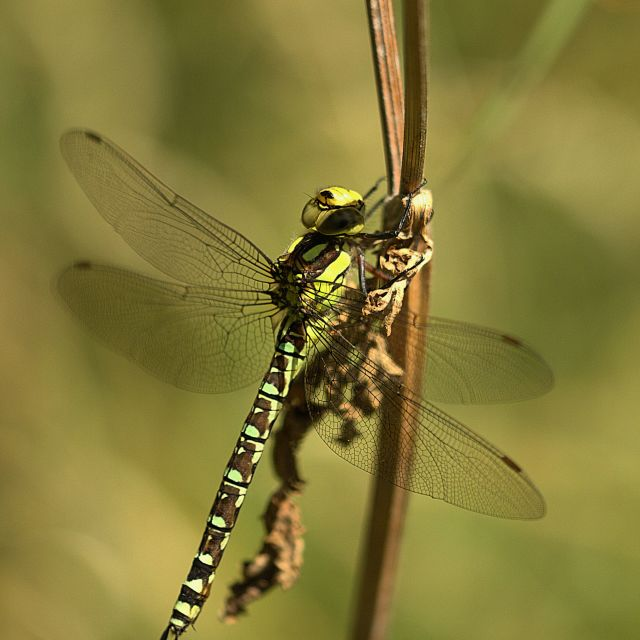 """Female Southern Hawker"" stock image"