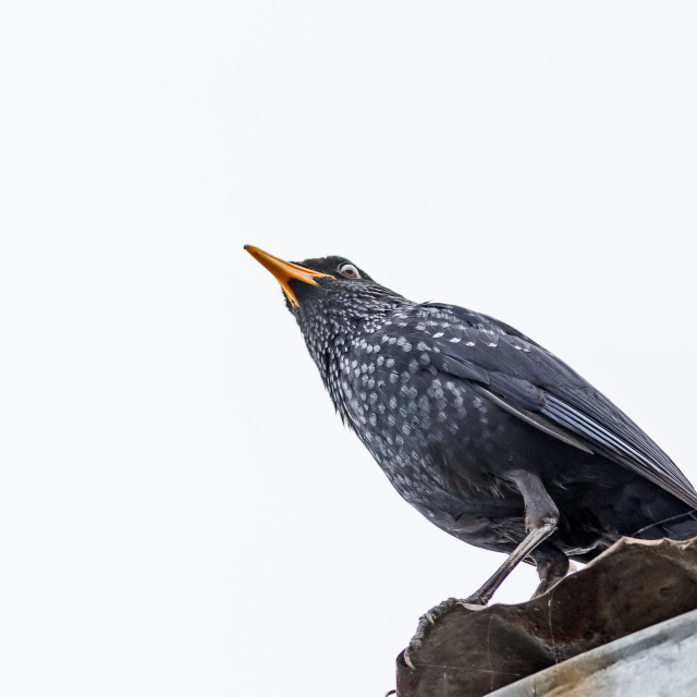 """""""Medium sized bird Blue-whistling thrush with copy space"""" stock image"""