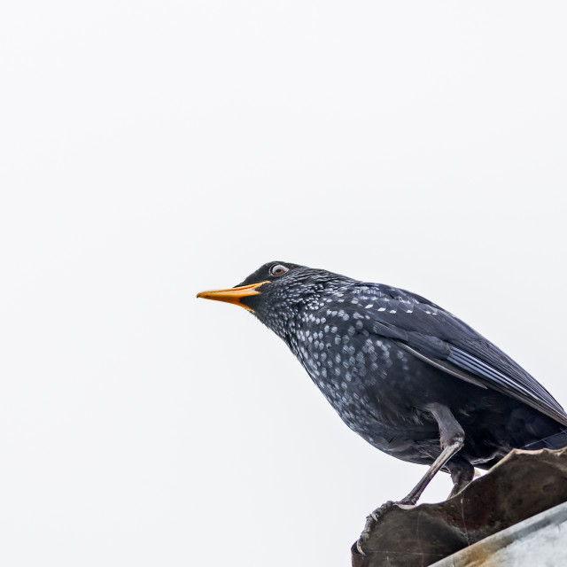 """Medium sized bird Blue-whistling thrush with copy space"" stock image"