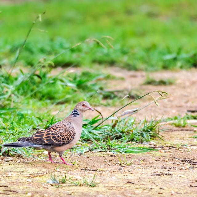 """Bird, Oriental Turtle Dove with copy space"" stock image"
