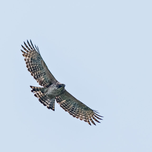 """""""Crested Serpent Eagle Soaring in sky"""" stock image"""