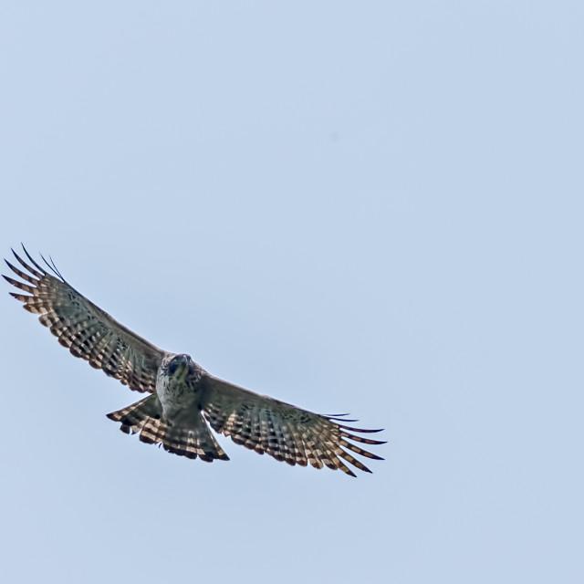 """Mountain Hawk Eagle, Nisaetus nipalensis,Soaring in sky"" stock image"