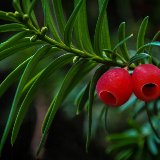 """Yew fruits"" stock image"