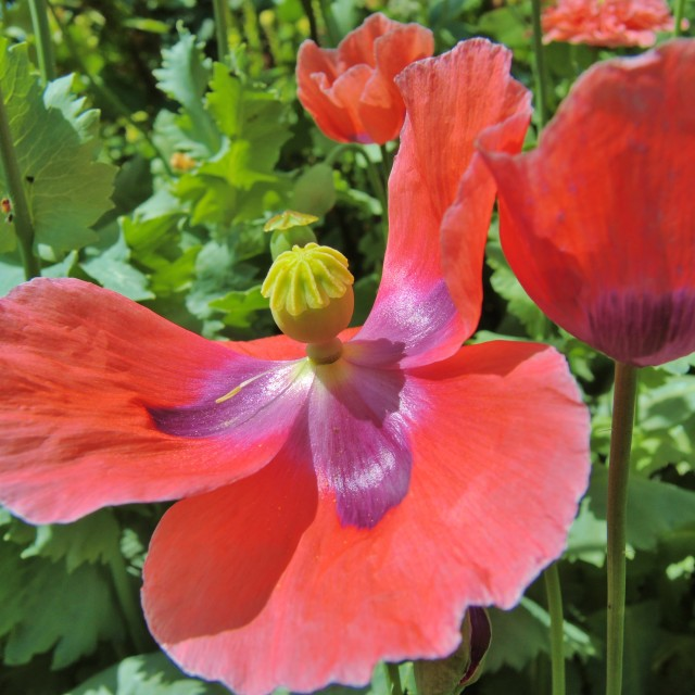 """Opium poppy (Papaver somniferum)."" stock image"