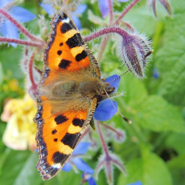 """Small Tortoiseshell Butterfly."" stock image"