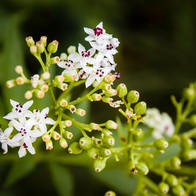 """Sambucus Ebulus Flower"" stock image"