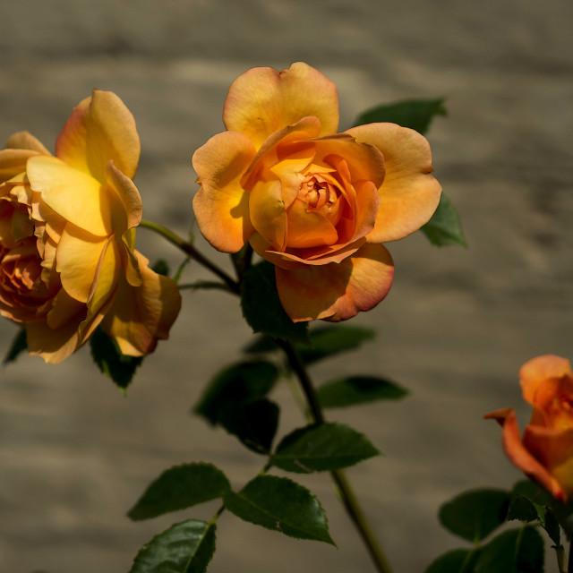 """Orange Roses"" stock image"