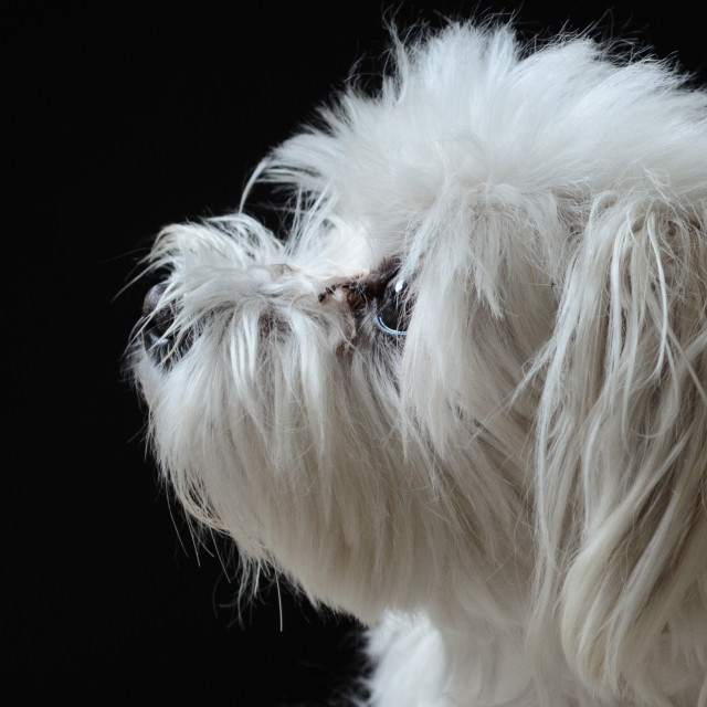"""Headshot of Maltese Terrier"" stock image"