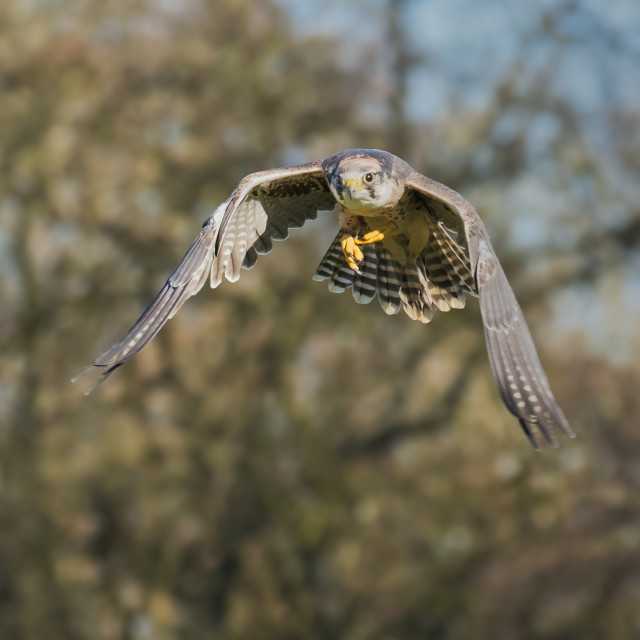 """Lanner Falcon mid-air"" stock image"